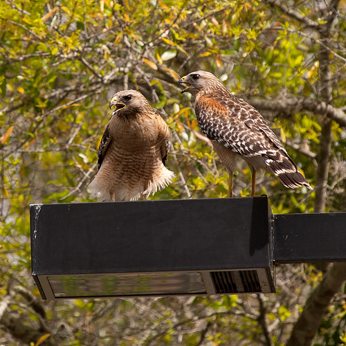 The Hawk Pair