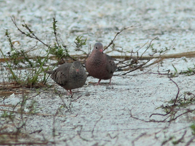 Common Ground-Doves 2-20120306