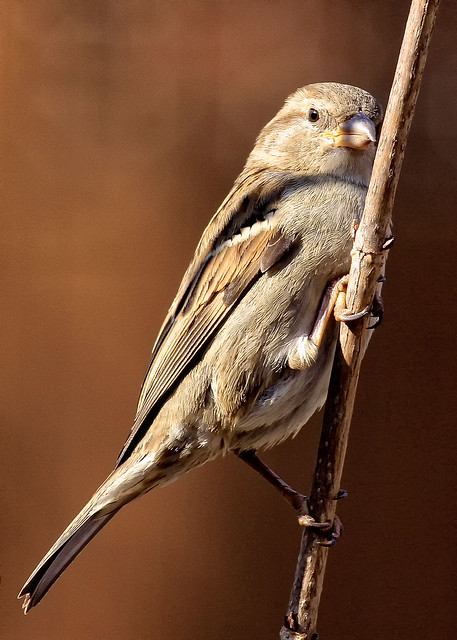 Mrs. Female House Sparrow.