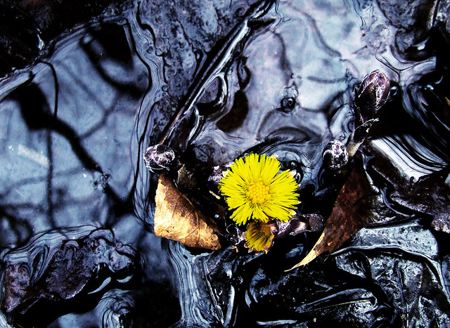 coltsfoot in ditch