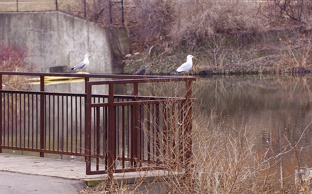 two gulls sitting