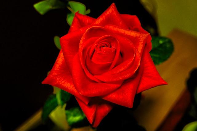 Rose HDR2