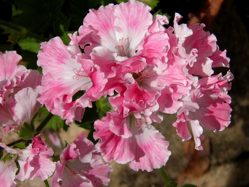 pink regal pelargonium