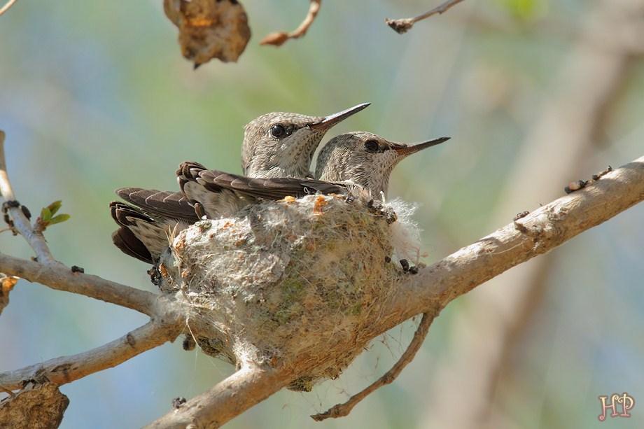 Anna's Hummingbird babies 032212