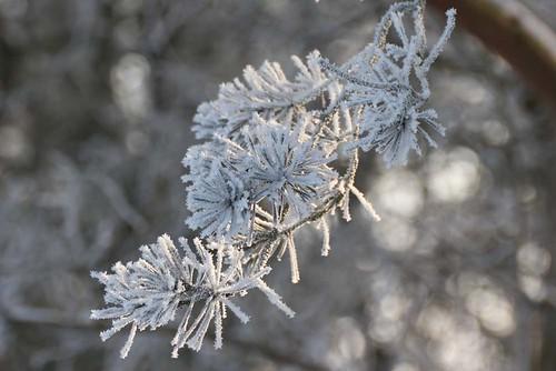hoar frost pine 11 02 12