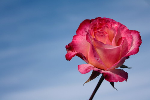 Rose by A Layered Life