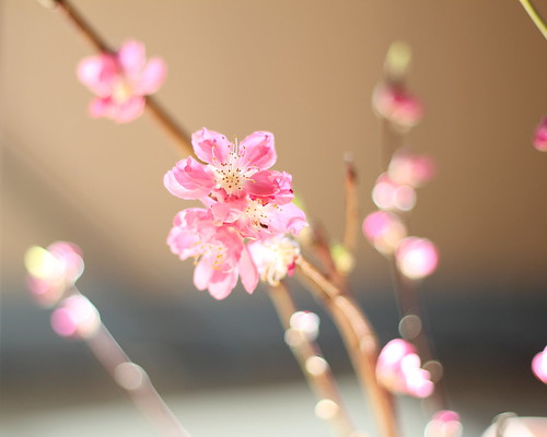 Peach blossoms (桃の花)