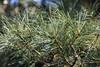 Photo:Korean Pine / Pinus koraiensis / 朝鮮五葉松(チョウセンゴヨウマツ) By TANAKA Juuyoh (田中十洋)