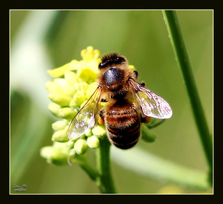 Bee on flower_2 !!