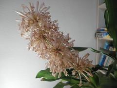 Flor del tronco de Brasil