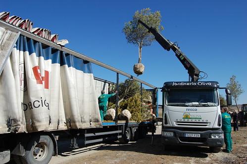 Suministro de Pinus Halepensi Ejemplar
