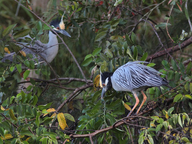 Yellow-crowned Night-Heron display 5-20120224