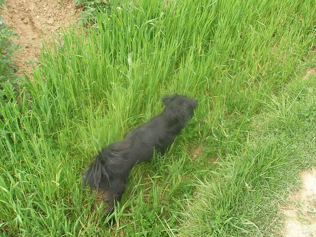 Black dog weaving through crops