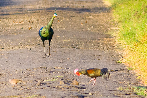 Green Pea-fowl and Green Junglefowl