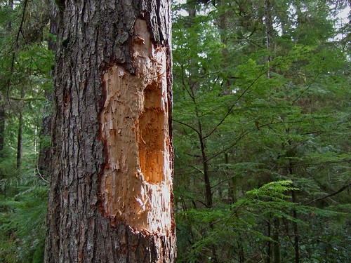 mark of the pileated woodpecker