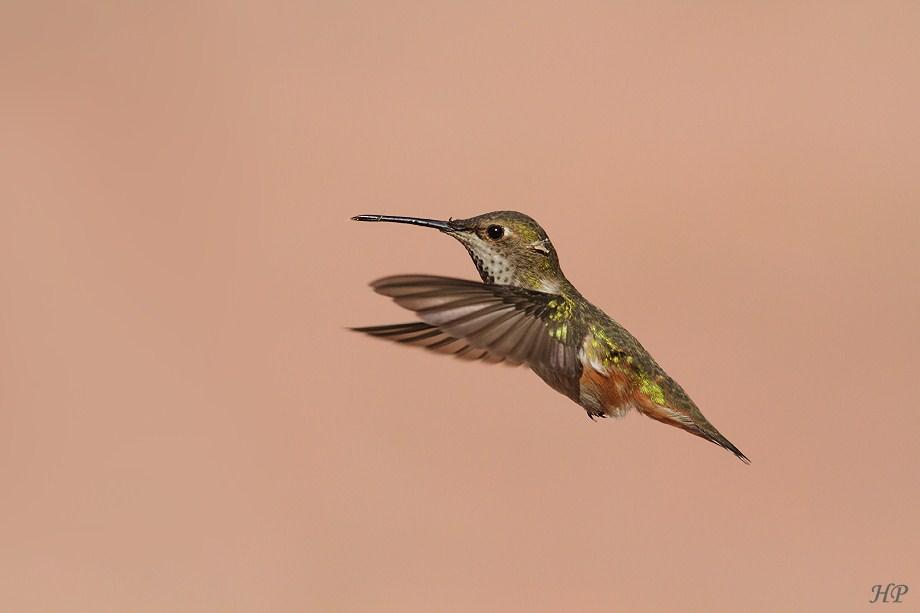 Allen's Hummingbird 022612
