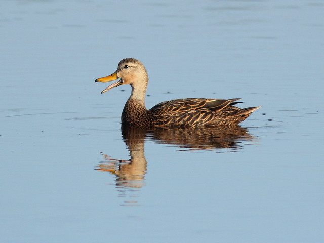 Mottled Duck 20120228