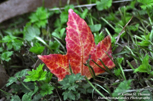Liquidamber autumn leaf