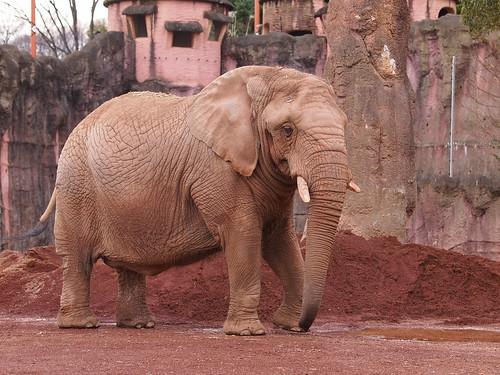 多摩動物公園 アフリカゾウ