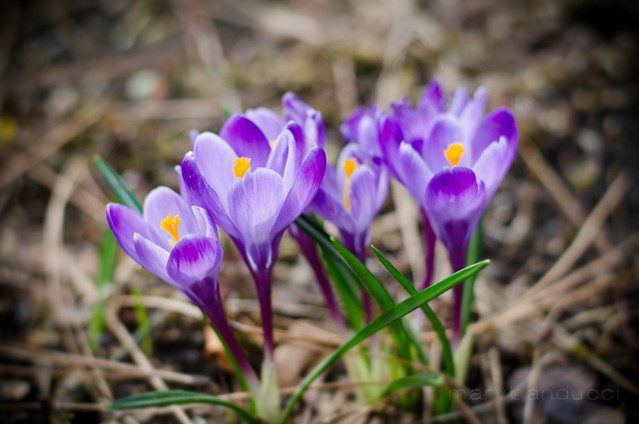 Crocus in Springtime by Mary Banducci