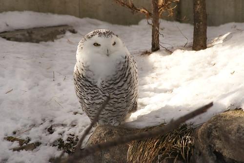 Snowy Owl by susanvg