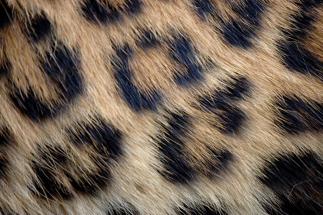 Real Leopard Print | Flickr - Photo Sharing!