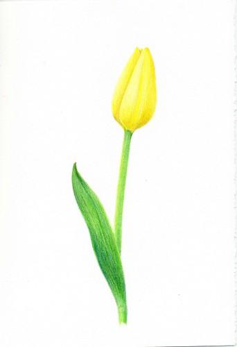 2012_02_26_tulip_02