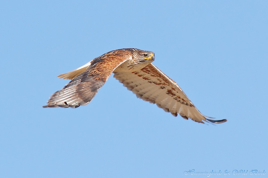 Ferruginous-Hawk-010612-9