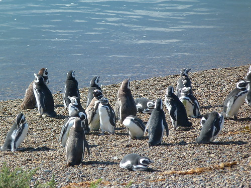 Pinguinos de Magallanes