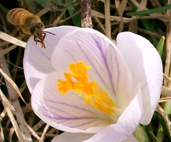 crocus honeybee 4