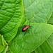 Stlish bug.  Botanic Gardens in Puerto Viejo, Costa Rica 29APR12
