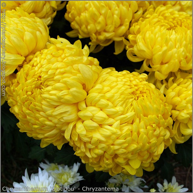 Chrysanthemum 'Clotidou' - Chryzantema 'Clotidou'