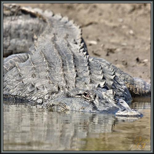 nature texas gator reptile wildlife alligator bayou pasadena canoeing paddling armandbayou wanam3