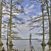 Lone Cypress Tree-HDR