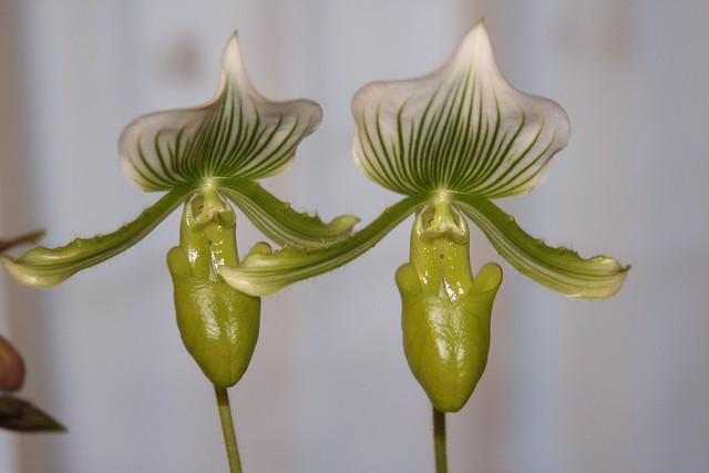Orquídea Paphiopedilum Maudiae