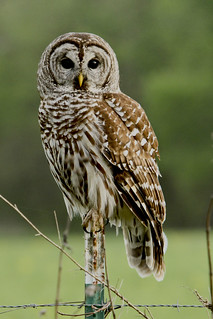 Whooo are you?    This is a Barred Owl  (Strix varia)  {Explored!}