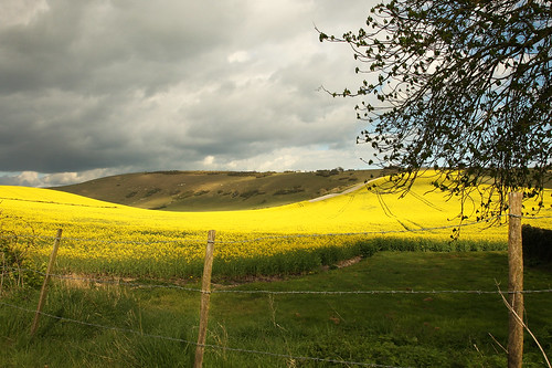 Yellow Fields of England