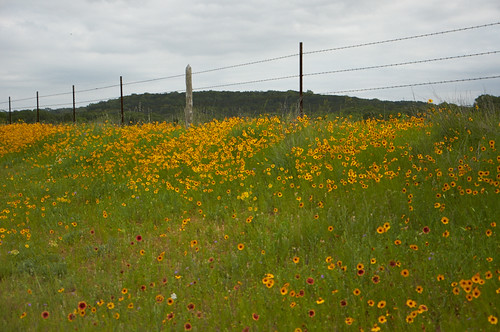 texas wildflowers comalcounty