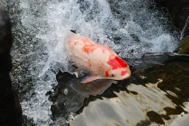 Swimming upstream quotes like success for Koi fish quotes