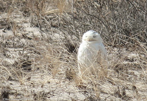 Snowy Owl, Mashpee MA by Genny164