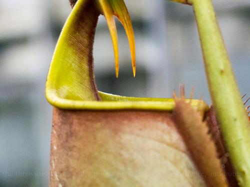 Sarawak's pitcher plant