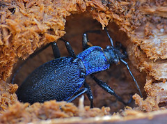 Blue Ground Beetle (Carabus intricatus) hibernating in dead wood