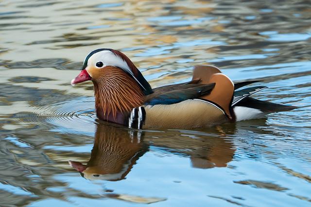 Rare visitor - Mandarin duck