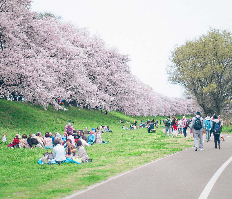 19.Roaming Under The Cherry Blossoms.