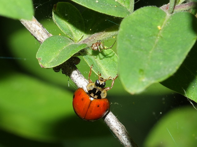 Lady Beetle and a Tiny Spider DSCF9217