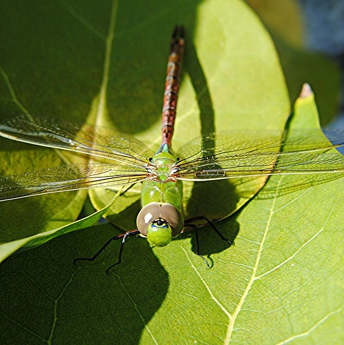 Green Dragonfly... high tech at its best! by jungle mama