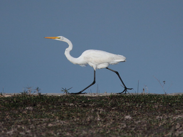Great Egret 3-20120228