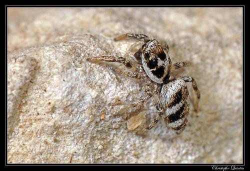 Saltique arlequin (Salticus scenicus)