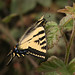 Beautiful Swallowtail....(I think)