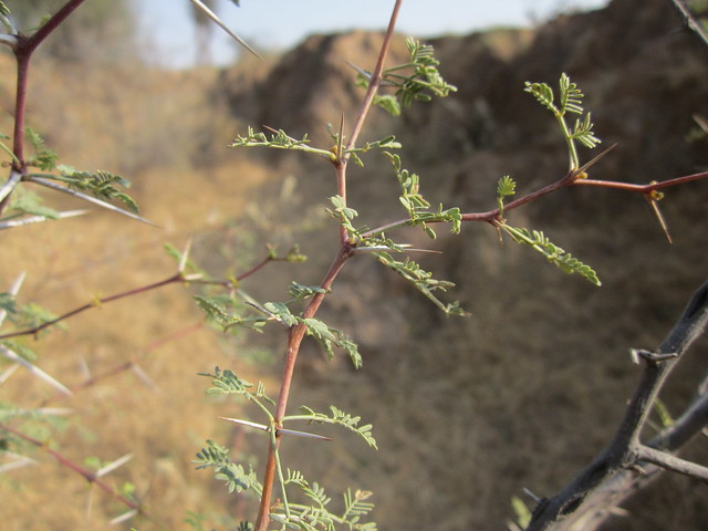 thorns in Rajasthan